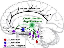 Orexin pathways